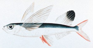 Sailfin_flyingfish